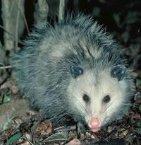 opossum11sm.jpeg